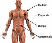 The Middle Muscles