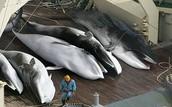 (VANI) resources... Whaling