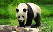 Wat de Pandabeer eet