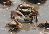 crabs at the marsh