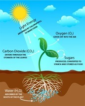 Why is sunlight important to the process of photosynthesis.