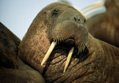 I couldn't get this thing to go away so here's a walrus