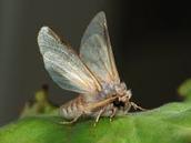 Female Gypsy Moths