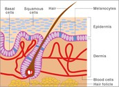 Fig.2.  Squamous and Basal cells on the skin (Dermal)