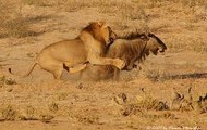 A lion hunting