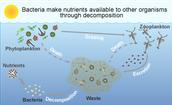 zooplankton feed phytoplankton