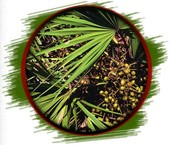 Saw Palmetto Berry (FRUCTUS SERENOAE)