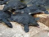 צבי ים רכים
