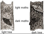 Origin of the Peppered Moth