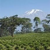 Coffee Plantations on Mount Kilimanjaro