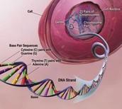 Chromosome carrying Alzheimer's