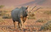 A rhino has a backbone