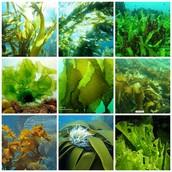 Tipos de algas.