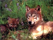 A Red Wolf Mother with her Pups