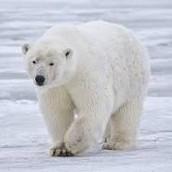 Polar Bear's