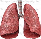 Lungs (my organ)