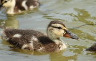 Baby Female  Mallard