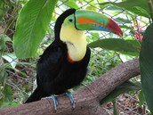 Toucan in the rain forest