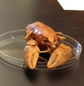 Example Crayfish