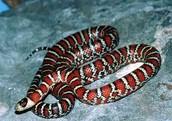 southwest region snake