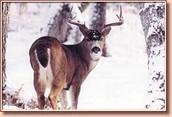 Trophy Rut Sitka Blacktail Deer