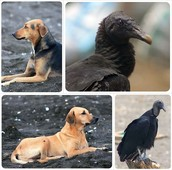 Dogs and Crows