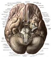 The under scale model of the brain.