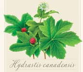 HYDRASTIS CANADENSIS (RANUNCULACEAE)