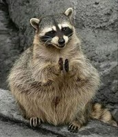 Our Campsite Racoon