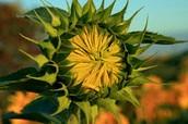 How Sunflowers Grow: