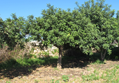 Fig 1 : Young carob trees