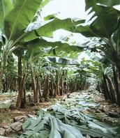 Banana Plantation