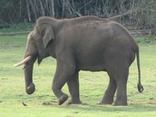 Even it the elephant's tail is too short it still whisks.
