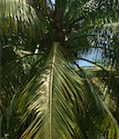 Another Coconut