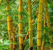 The Bamboo.
