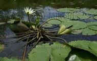 Nymphaea ampla (Dotleaf Waterlily)