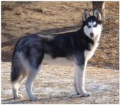 Hybrid wolf dog for sale!