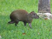 St. Kitts Rodent (Longus Rodentus)