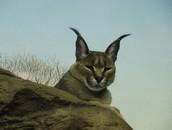 A caracal's ears