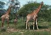 a male giraffe.