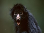 Where do spider  monkeys live?