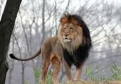Aslan is no man he is a lion the-lion the great lion!