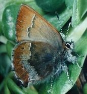 Adult Callophyrs mossii bayensis