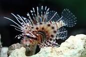 Dwarf Zebra Lionfish