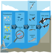 How do they adapt to the Antarctic environment?