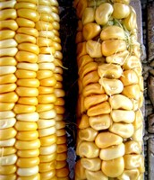 Genetically Modified vs. Unmodified Corn