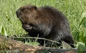 North American Beaver.