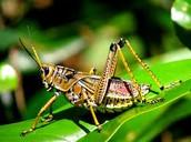 A living grasshopper