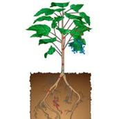 הידעת? - מערכת ההובלה בצמחים