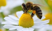 What is Happening to bees?